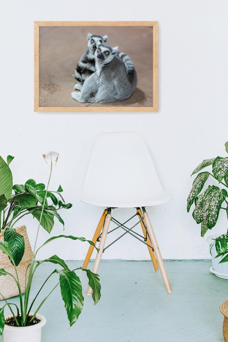 Tropikariet Helsingborg, prints, djurbild, väggprydnad, inredning, tavlor, lemur, lemurer, Tropikariet, inramningar, djurbilder, djurbild på väggen, inramad bild, inramat foto